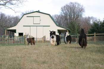 new_barn_llamas1.jpg