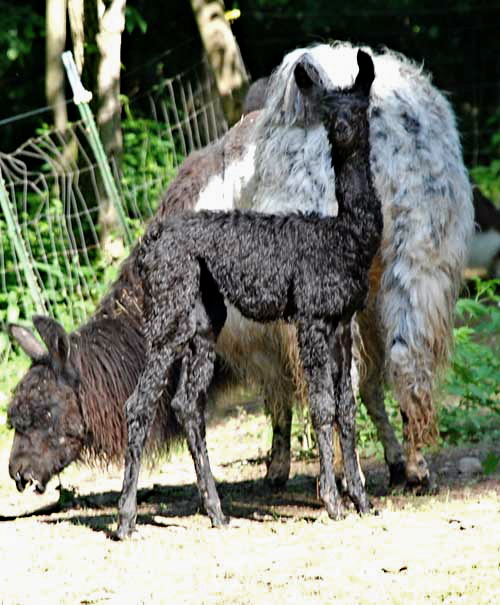 Sierra and Incspot Cria